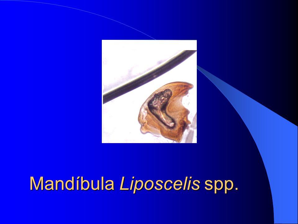 Escama de asas e Ephestia spp.