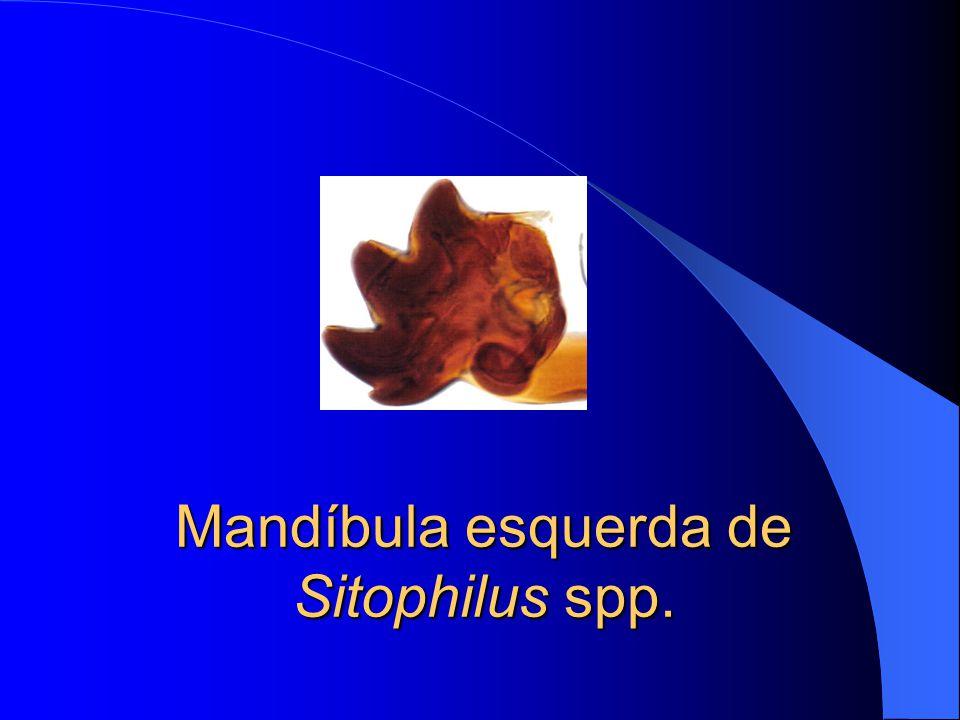 Mandíbula Liposcelis spp.