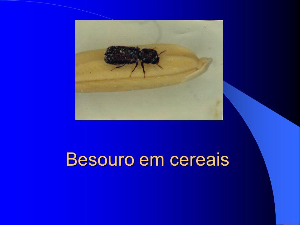 Sitophilus spp. Gorgulho de cereais