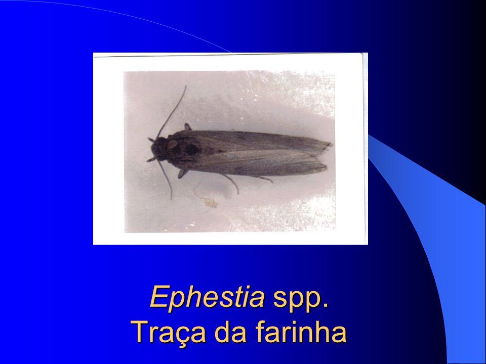 Ephestia spp. Traça de farinha