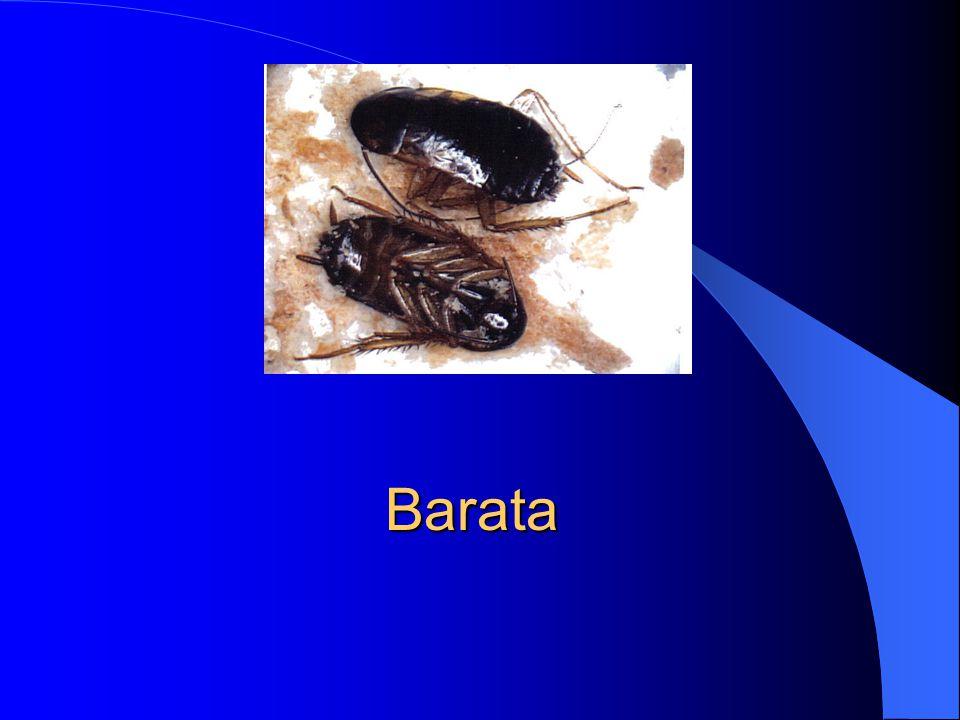 Baratinha doméstica (Ordem Orthoptera)
