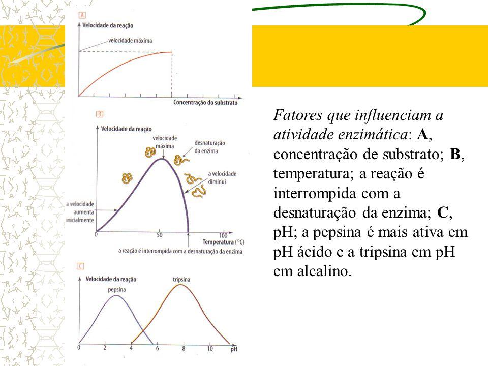 Fatores que influenciam a atividade enzimática: A, concentração de substrato; B, temperatura; a reação é interrompida com a desnaturação da enzima; C,
