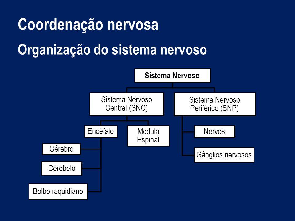 Organização do sistema nervoso Sistema Nervoso Central Sistema Nervoso Central : organização e interpretação das informações.