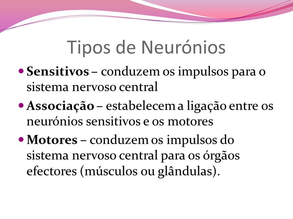 Tipos de Neurónios Sensitivos – conduzem os impulsos para o sistema nervoso central Associação – estabelecem a ligação entre os neurónios sensitivos e os motores Motores – conduzem os impulsos do sistema nervoso central para os órgãos efectores (músculos ou glândulas).