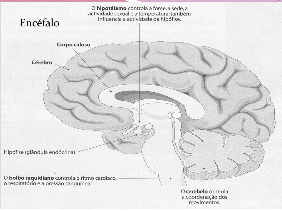 Cerebelo Bolbo Raquidiano Controla a coordenação dos movimentos e o equilíbrio do corpo.