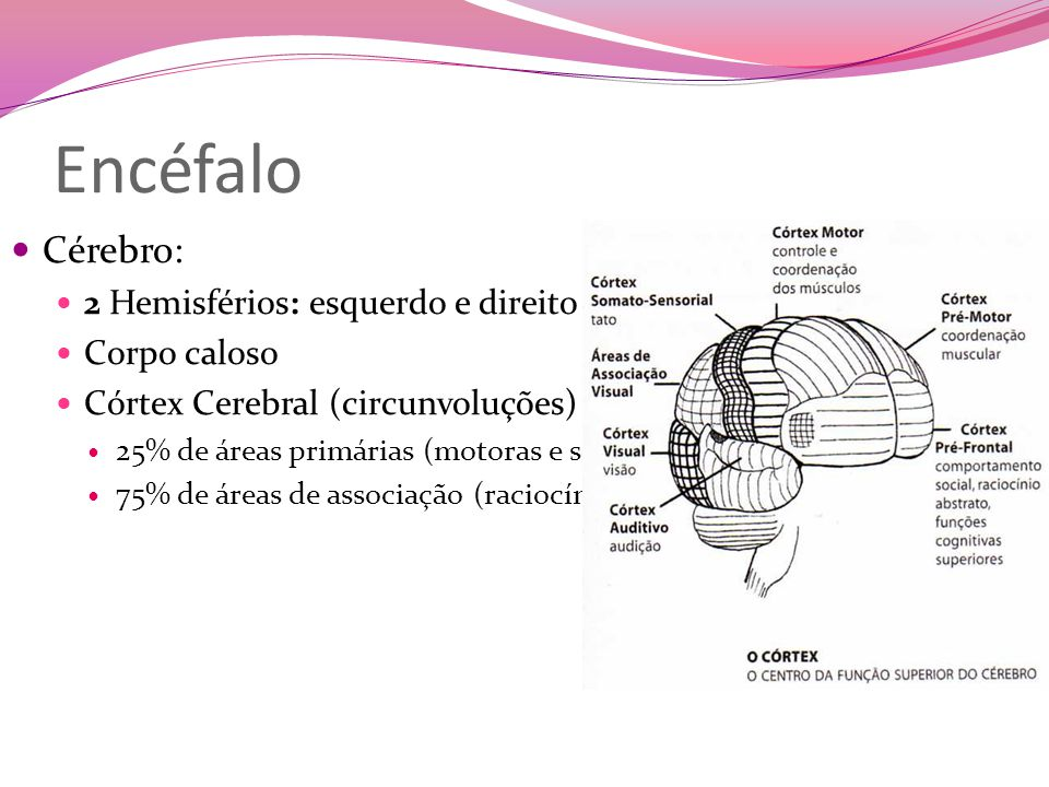 Encéfalo Cérebro: 2 Hemisférios: esquerdo e direito Corpo caloso Córtex Cerebral (circunvoluções) 25% de áreas primárias (motoras e sensitivas) 75% de áreas de associação (raciocínio e imaginação)