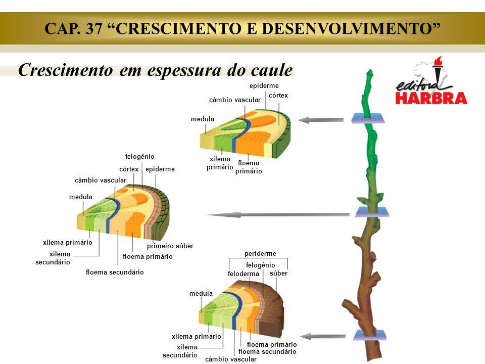 Crescimento em espessura em raízes de eudicotiledôneas floema primário súber felogênio floema secundário xilema secundário xilema primário periderme (súber, felogênio e feloderma) Estrutura secundária de raiz feloderma periciclo câmbio floema primário córtex câmbio Início da estrutura secundária de raiz epiderme endoderme periciclo floema secundário xilema secundário xilema primário câmbio Estrutura primária da raiz epiderme endoderme periciclo xilema primário córtex floema primário CAP.