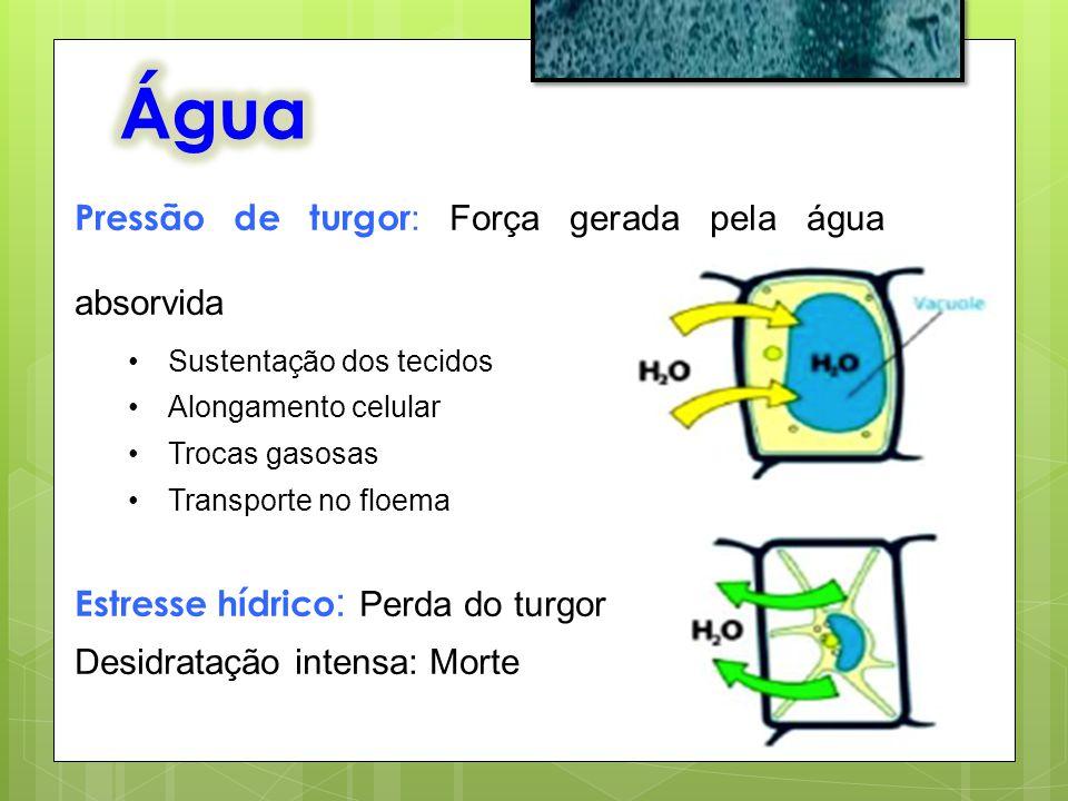 Pressão de turgor : Força gerada pela água absorvida Sustentação dos tecidos Alongamento celular Trocas gasosas Transporte no floema Estresse hídrico