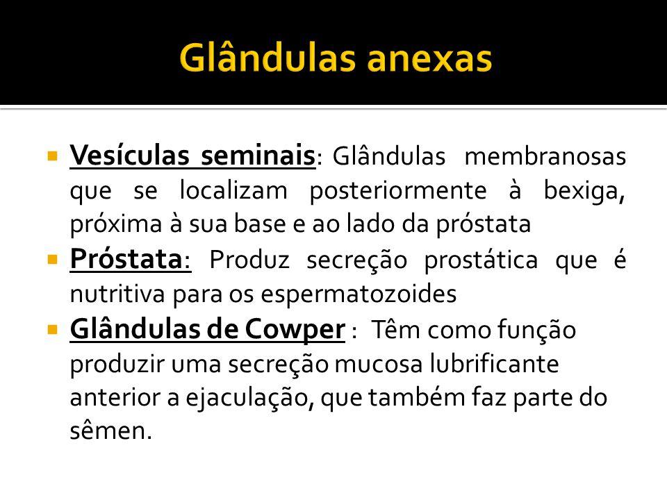  Vesículas seminais : Glândulas membranosas que se localizam posteriormente à bexiga, próxima à sua base e ao lado da próstata  Próstata: Produz sec