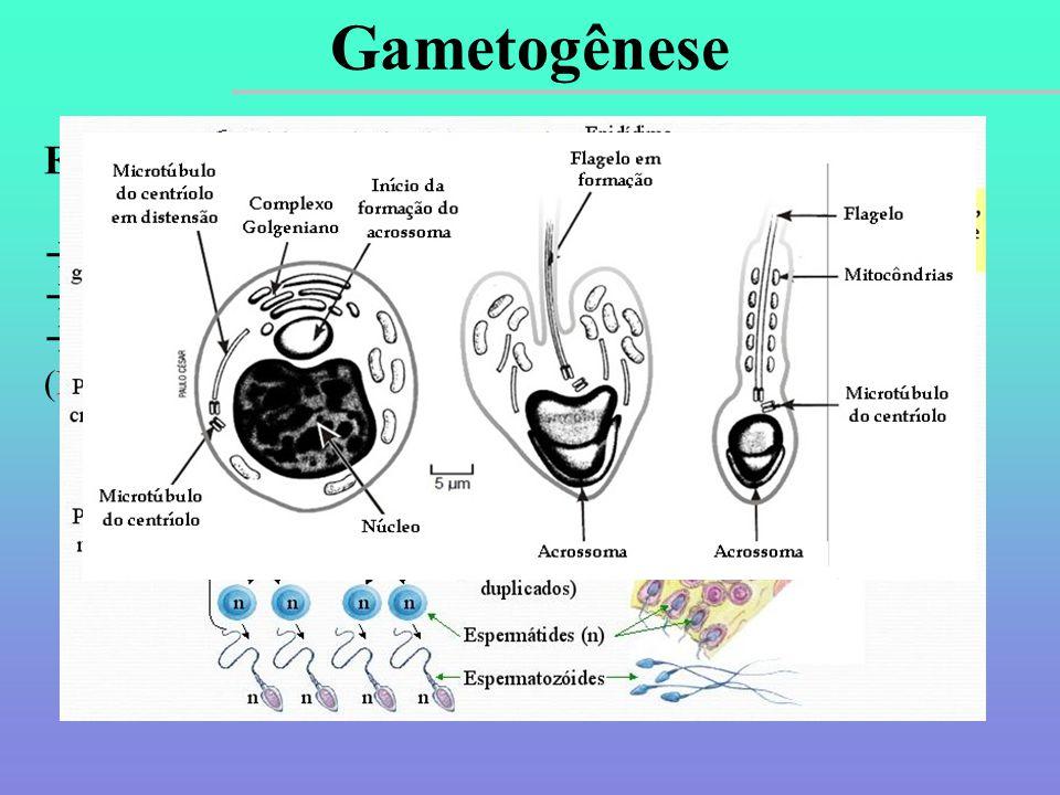 Espermatogênese  Ocorre nos testículos.  Inicia-se na puberdade (11-14 anos) e continua por toda a vida.  Importância dos hormônios testosterona e