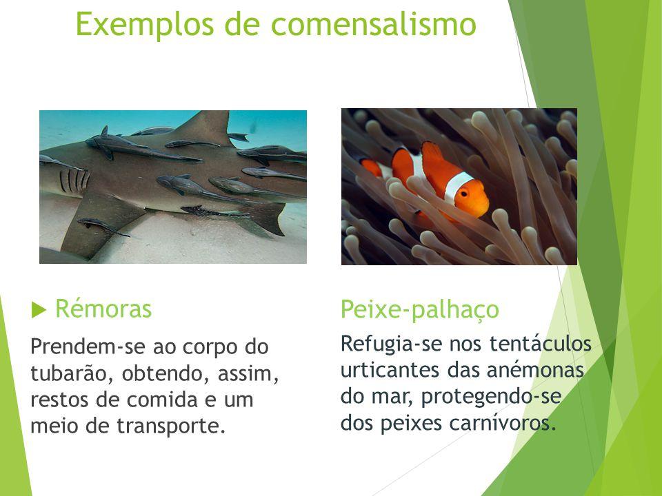 Exemplos de comensalismo  Rémoras Prendem-se ao corpo do tubarão, obtendo, assim, restos de comida e um meio de transporte. Peixe-palhaço Refugia-se