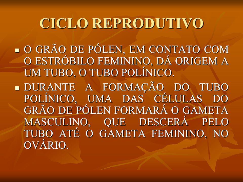 CICLO REPRODUTIVO O GRÃO DE PÓLEN, EM CONTATO COM O ESTRÓBILO FEMININO, DÁ ORIGEM A UM TUBO, O TUBO POLÍNICO. O GRÃO DE PÓLEN, EM CONTATO COM O ESTRÓB