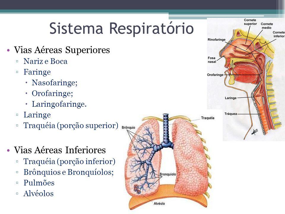 Sistema Respiratório Vias Aéreas Superiores ▫Nariz e Boca ▫Faringe  Nasofaringe;  Orofaringe;  Laringofaringe. ▫Laringe ▫Traquéia (porção superior)