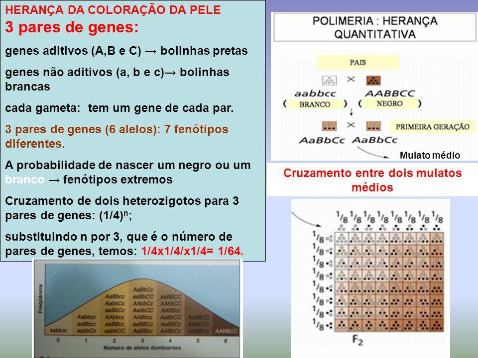 HERANÇA DA COLORAÇÃO DA PELE 3 pares de genes: genes aditivos (A,B e C) → bolinhas pretas genes não aditivos (a, b e c)→ bolinhas brancas cada gameta: