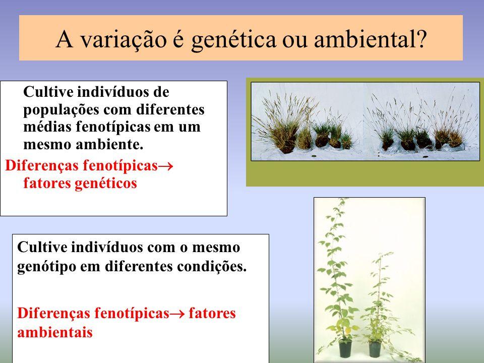 A variação é genética ou ambiental? Cultive indivíduos de populações com diferentes médias fenotípicas em um mesmo ambiente. Diferenças fenotípicas 