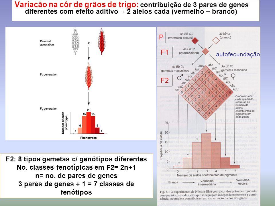 Variacão na côr de grãos de trigo: contribuição de 3 pares de genes diferentes com efeito aditivo→ 2 alelos cada (vermelho – branco) P F1 F2 autofecun