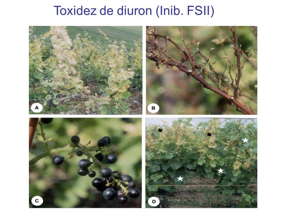 Toxidez de diuron (Inib. FSII)