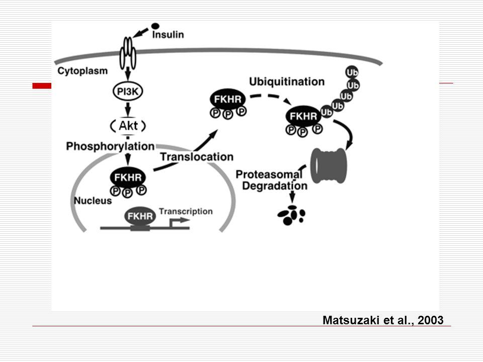 FOXO 1 hipotalâmica importante regulador da ingestão alimentar e do balanço energético transcrição de neuropeptídios orexigênicos: NPY e AgRP  Transcrição de POMC (anorexígeno)