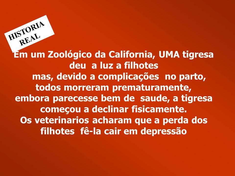 Em um Zoológico da California, UMA tigresa deu a luz a filhotes mas, devido a complicações no parto, todos morreram prematuramente, embora parecesse b