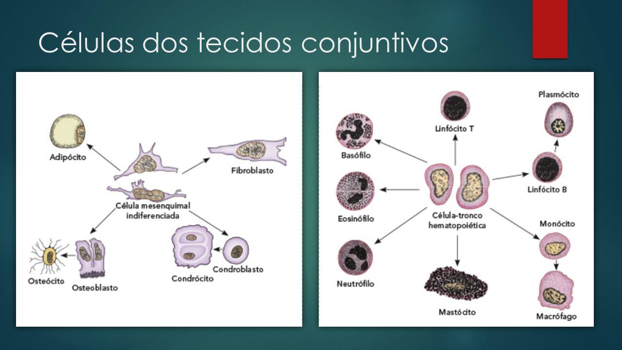 Células dos tecidos conjuntivos  Fibroblastos  Células produtores de fibras  Leucócitos  Células relacionadas com a imunidade do organismo  Mastócitos  Células do sistema Imune relacionadas com reações alérgicas  Adipócitos  Reserva de gorduras  Osteoblastos  Sintetizam a matriz óssea (Colágeno tipo I + Hidroxiapatita)  Condroblastos  Sintetizam a matriz cartilaginosa (Colágeno tipo II + ácido hialurônico + proteoglicanos)