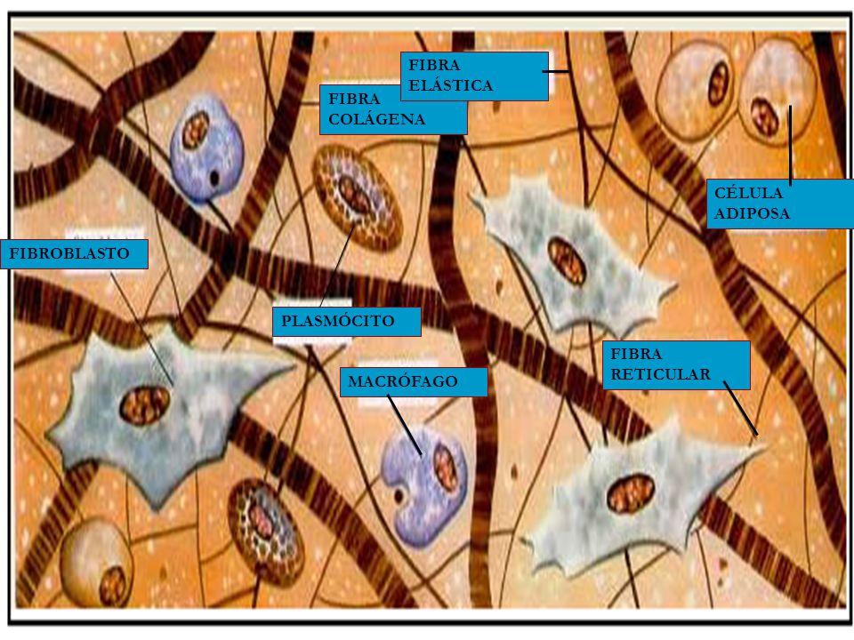 Substância Amorfa: formada principalmente por água, polissacarídeos e proteínas.