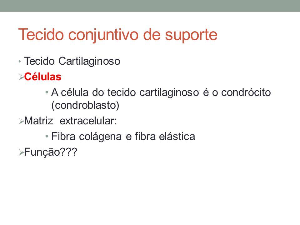 Tecido conjuntivo de suporte Tecido Cartilaginoso  Células A célula do tecido cartilaginoso é o condrócito (condroblasto)  Matriz extracelular: Fibr
