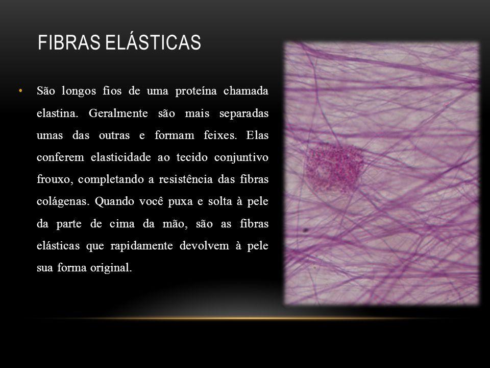 FIBRAS ELÁSTICAS São longos fios de uma proteína chamada elastina. Geralmente são mais separadas umas das outras e formam feixes. Elas conferem elasti