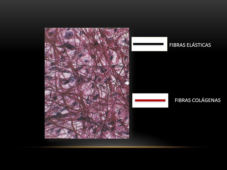 FIBRAS ELÁSTICAS FIBRAS COLÁGENAS