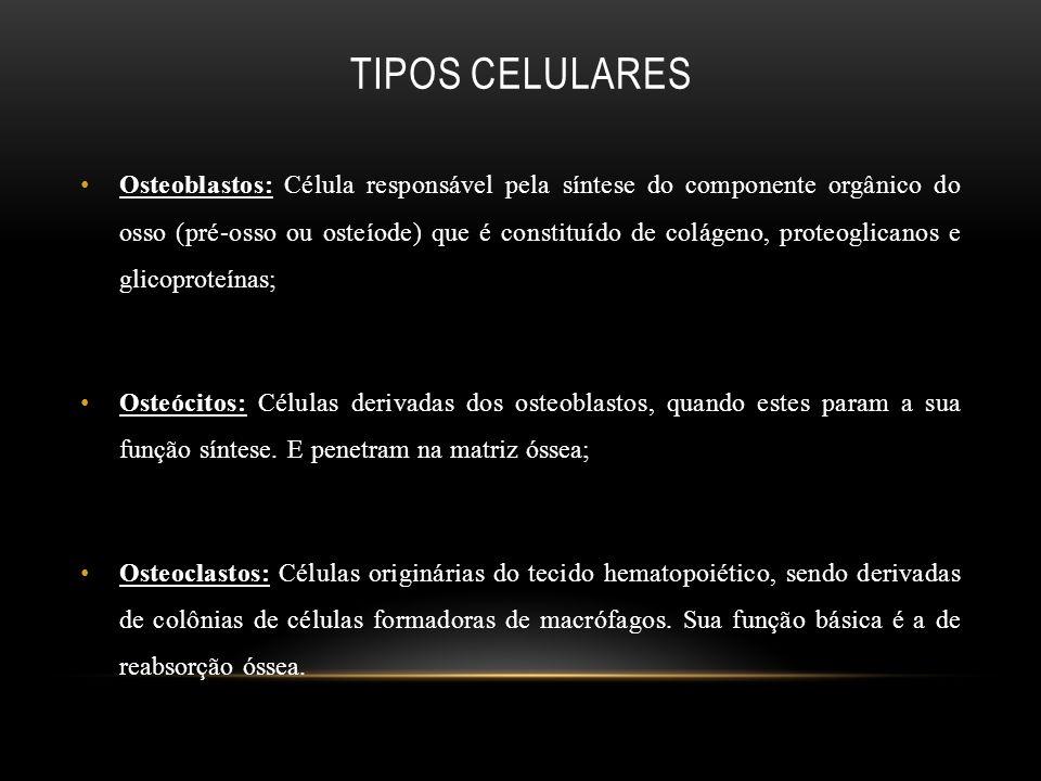 TIPOS CELULARES Osteoblastos: Célula responsável pela síntese do componente orgânico do osso (pré-osso ou osteíode) que é constituído de colágeno, pro