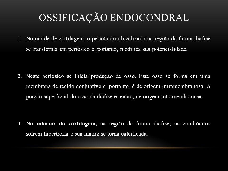 OSSIFICAÇÃO ENDOCONDRAL 1.No molde de cartilagem, o pericôndrio localizado na região da futura diáfise se transforma em periósteo e, portanto, modific