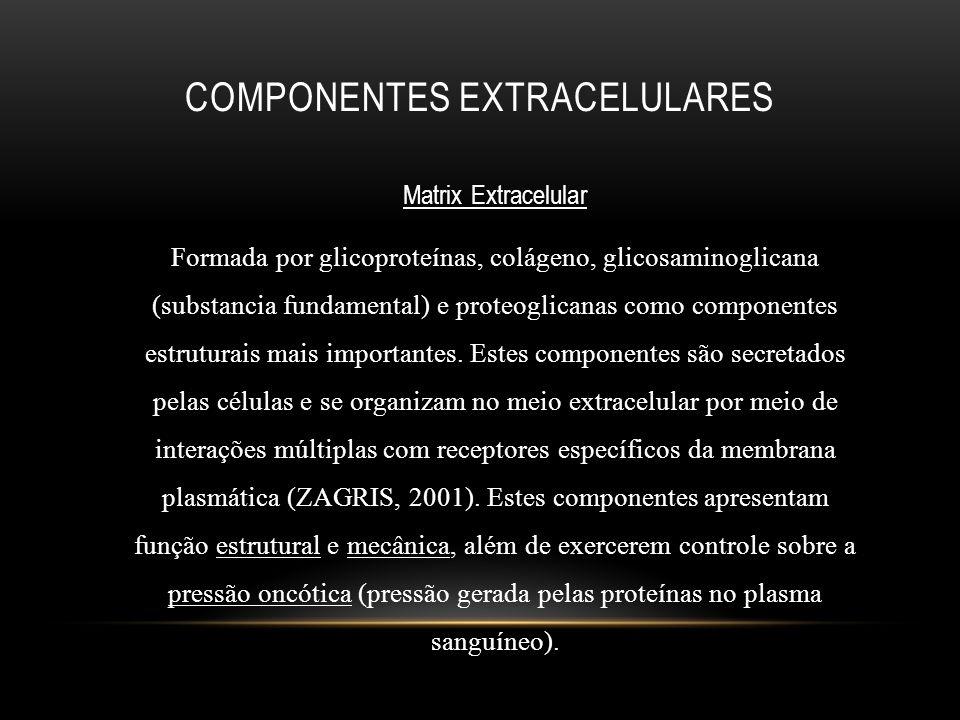 COMPONENTES EXTRACELULARES Matrix Extracelular Formada por glicoproteínas, colágeno, glicosaminoglicana (substancia fundamental) e proteoglicanas como