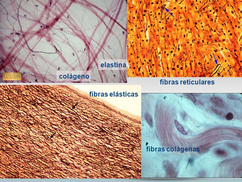 colágeno elastina fibras reticulares fibras elásticas fibras colágenas