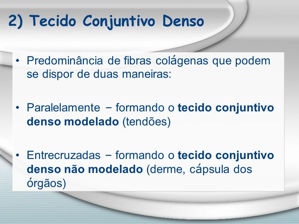 2) Tecido Conjuntivo Denso Predominância de fibras col á genas que podem se dispor de duas maneiras: Paralelamente – formando o tecido conjuntivo dens