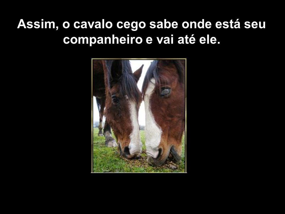 Assim, o cavalo cego sabe onde está seu companheiro e vai até ele.