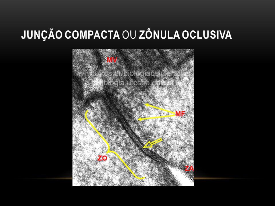 JUNÇÃO COMPACTA OU ZÔNULA OCLUSIVA
