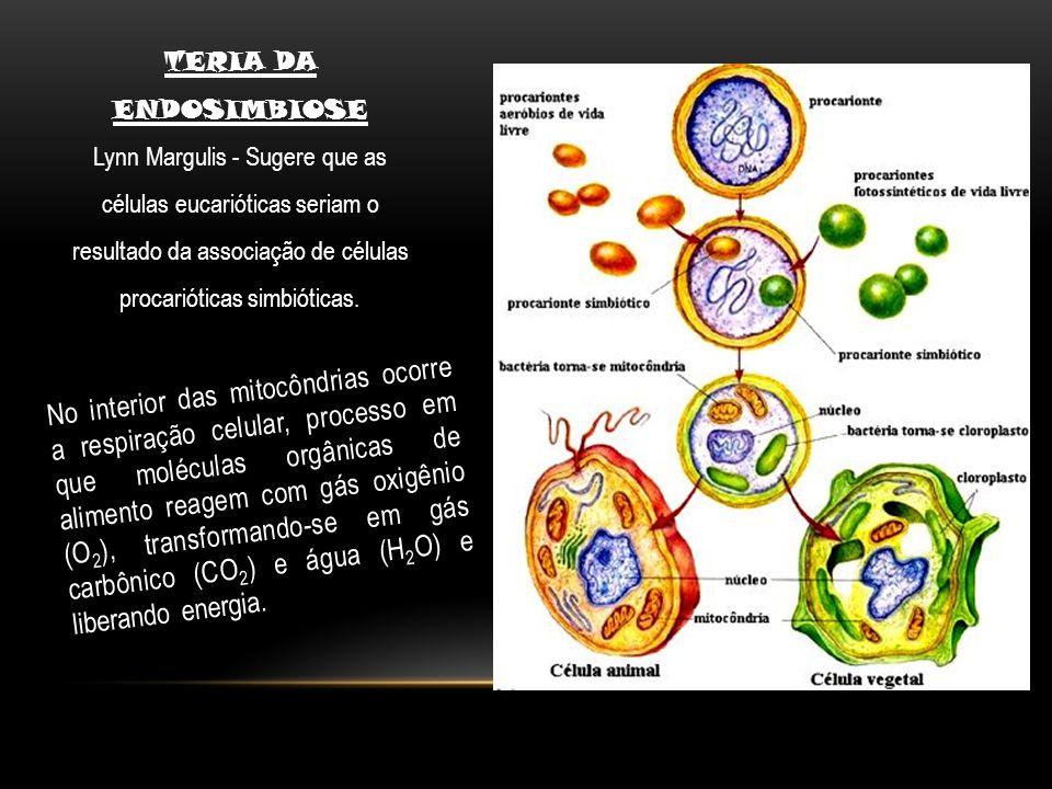 No interior das mitocôndrias ocorre a respiração celular, processo em que moléculas orgânicas de alimento reagem com gás oxigênio (O 2 ), transformand