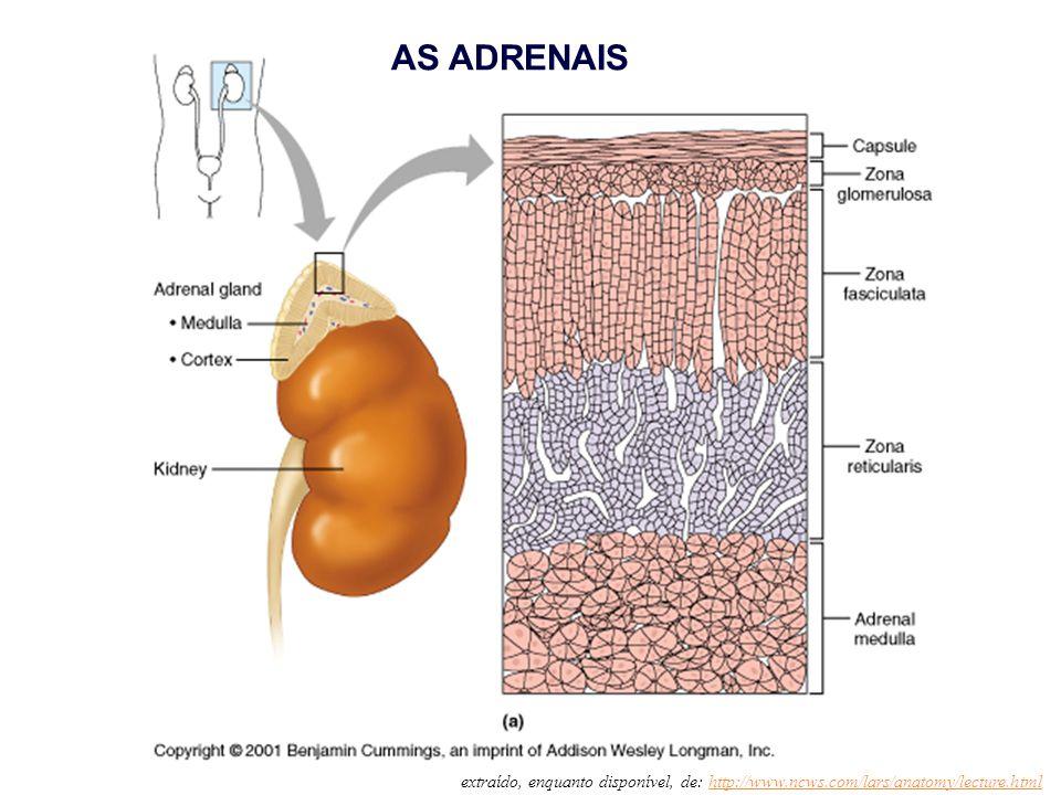 extraído, enquanto disponível, de: http://www.ncws.com/lars/anatomy/lecture.htmlhttp://www.ncws.com/lars/anatomy/lecture.html AS ADRENAIS