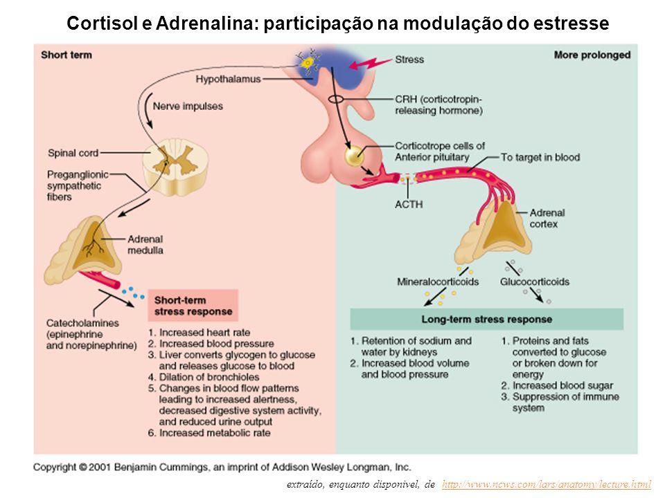 extraído, enquanto disponivel, de: http://www.ncws.com/lars/anatomy/lecture.htmlhttp://www.ncws.com/lars/anatomy/lecture.html Cortisol e Adrenalina: p