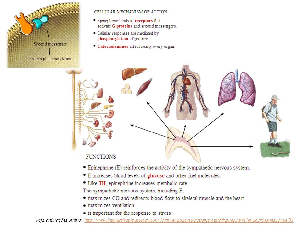 Veja animações online: http://www.interactivephysiology.com/login/endodemo/systems/buildframes.html?endocrine/response/01http://www.interactivephysiol