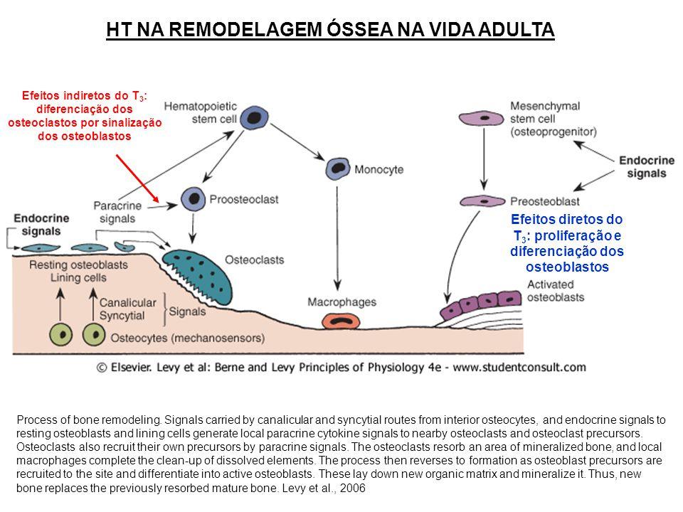 HT NA REMODELAGEM ÓSSEA NA VIDA ADULTA Efeitos diretos do T 3 : proliferação e diferenciação dos osteoblastos Efeitos indiretos do T 3 : diferenciação