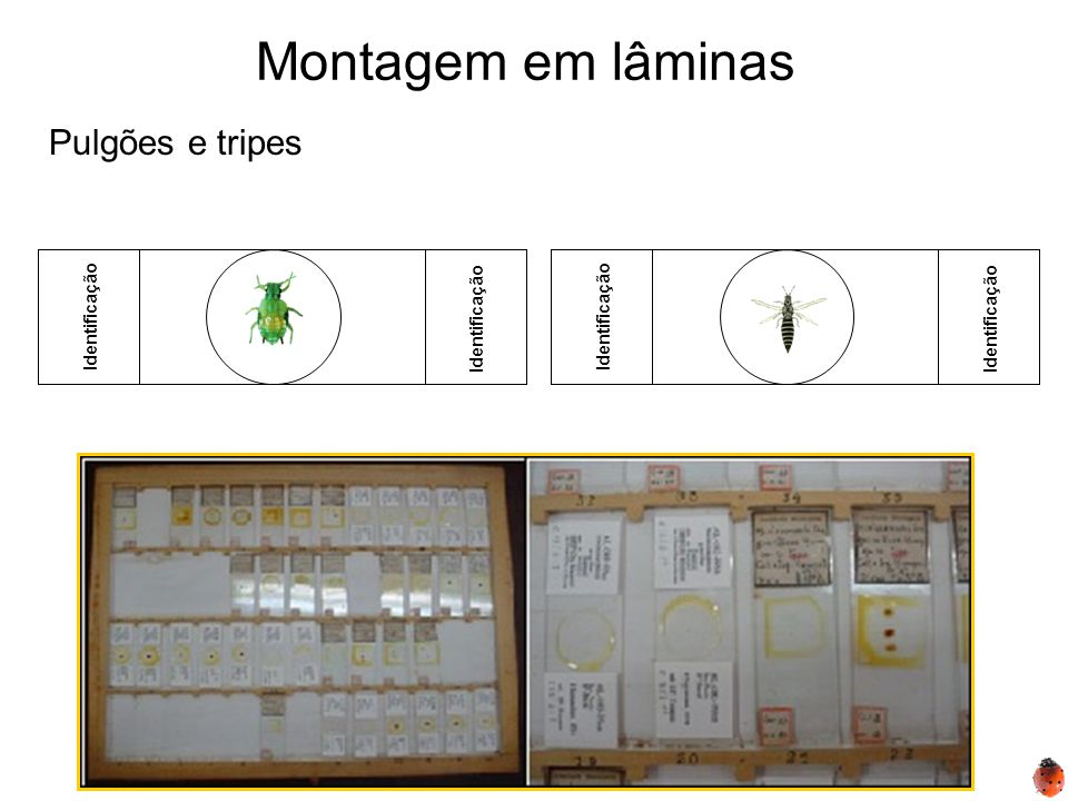 Montagem em lâminas Identificação Pulgões e tripes