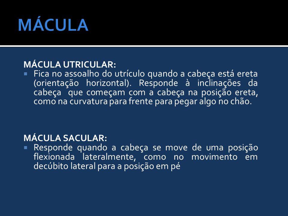 MÁCULA UTRICULAR:  Fica no assoalho do utrículo quando a cabeça está ereta (orientação horizontal). Responde à inclinações da cabeça que começam com