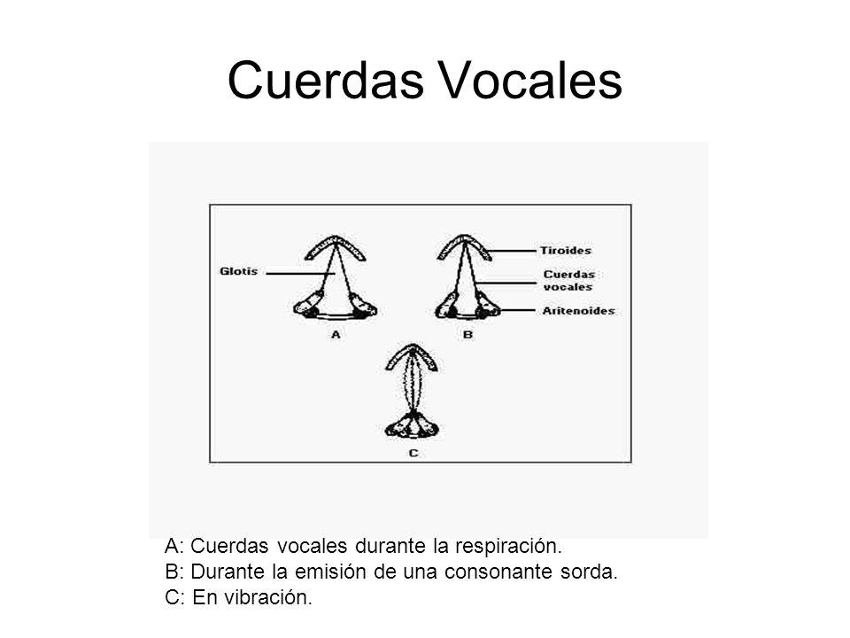 Cuerdas Vocales A: Cuerdas vocales durante la respiración. B: Durante la emisión de una consonante sorda. C: En vibración.