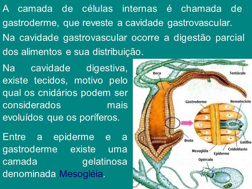A camada de células internas é chamada de gastroderme, que reveste a cavidade gastrovascular. Na cavidade gastrovascular ocorre a digestão parcial dos