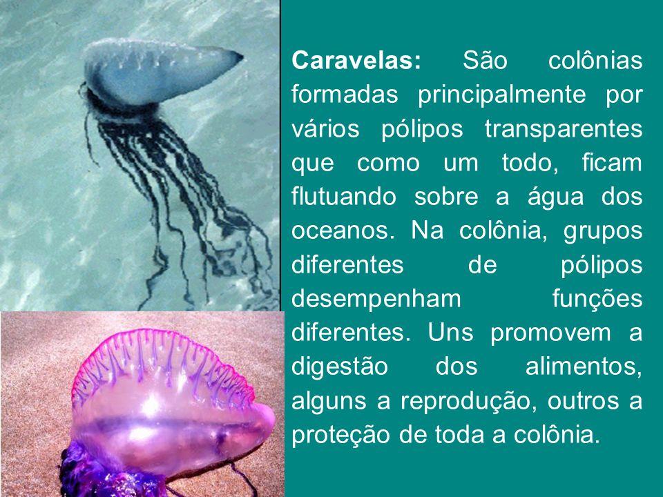 Caravelas: São colônias formadas principalmente por vários pólipos transparentes que como um todo, ficam flutuando sobre a água dos oceanos. Na colôni
