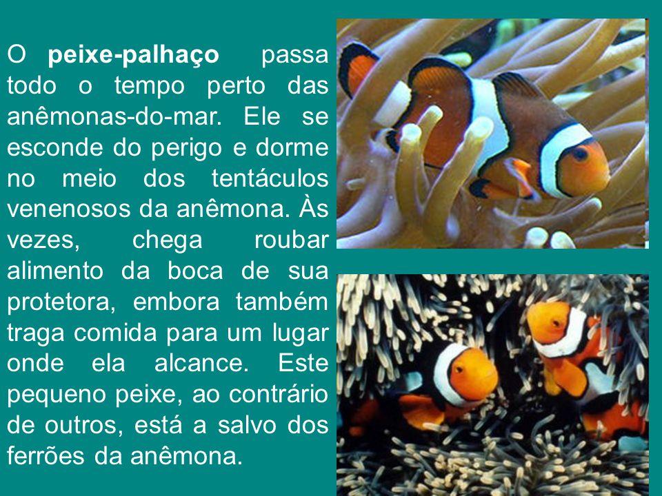 O peixe-palhaço passa todo o tempo perto das anêmonas-do-mar. Ele se esconde do perigo e dorme no meio dos tentáculos venenosos da anêmona. Às vezes,