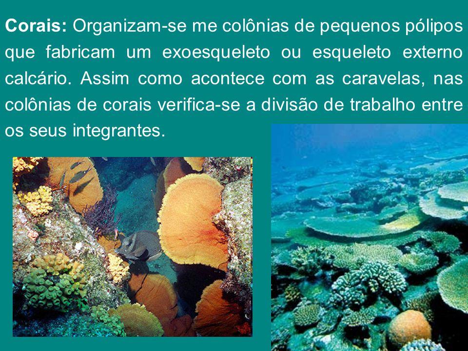 Corais: Organizam-se me colônias de pequenos pólipos que fabricam um exoesqueleto ou esqueleto externo calcário. Assim como acontece com as caravelas,