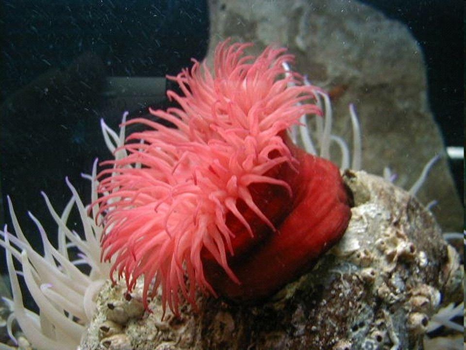 Caravelas: São colônias formadas principalmente por vários pólipos transparentes que como um todo, ficam flutuando sobre a água dos oceanos.