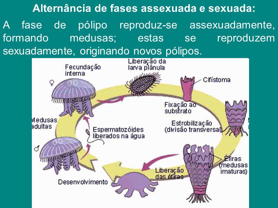 Alternância de fases assexuada e sexuada: A fase de pólipo reproduz-se assexuadamente, formando medusas; estas se reproduzem sexuadamente, originando