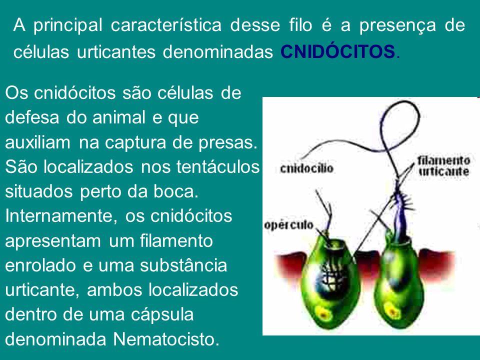 A principal característica desse filo é a presença de células urticantes denominadas CNIDÓCITOS. Os cnidócitos são células de defesa do animal e que a